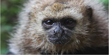 """Chewie"" our rescued San Martin Titi monkey."