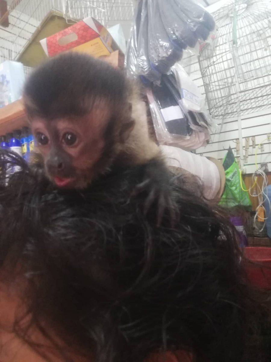 pet trade – Neotropical Primate Conservation