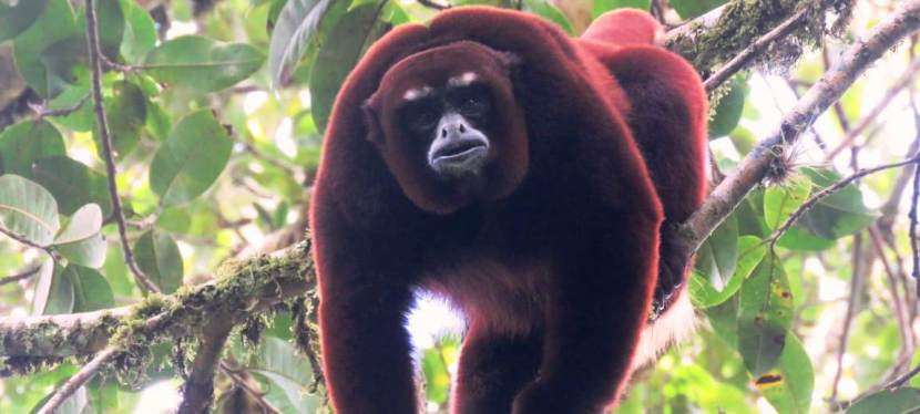 New Population of Yellow Tailed Woolly Monkeys Found!