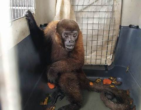 Woolly Monkey Rescue